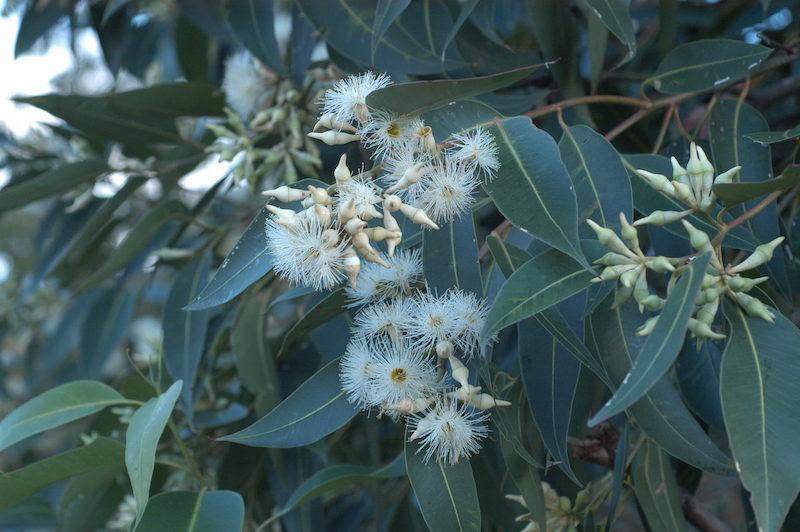 Eucalyptus_robusta_flowers_gosford